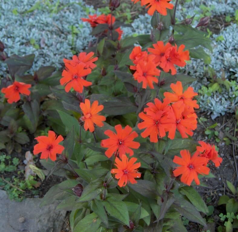 Многолетние цветы красного цвета